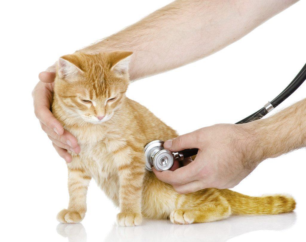Principais doenças em gatos
