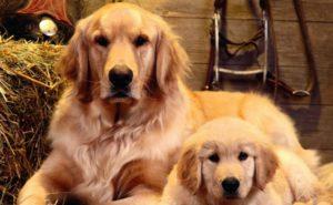Cachorros peludos precisam de cuidados especiais no verão