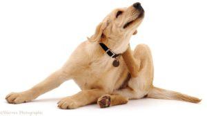 Cachorro e gato podem ter problemas de pele quando se coçam muito