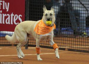 cachorros viram gandulas no Brasil Open de Tenis