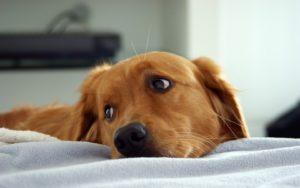 cachorros também podem ficar entediados