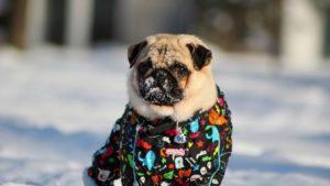 cuidados com cães no inverno