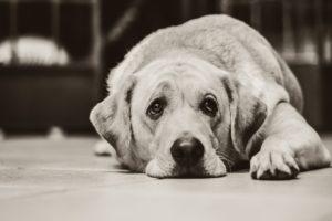cachorros também sentem dor na coluna