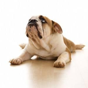 dor na coluna em cães